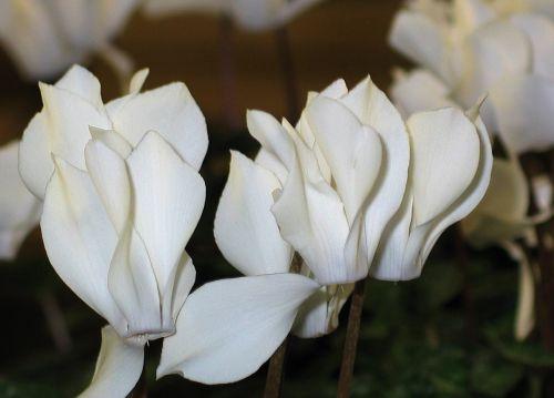 ciklamenas,baltos gėlės,flora,dekoratyvinis augalas,balta,gėlė,pasodintas augalas,kambarinis augalas,dekoratyvinis,Gelės vazonas,violetinė,botanika,sodininkas,gamta,augalas,kambario ciklamenai,gėlės,Pirminis šiltnamio efektas,gražus,žydėti