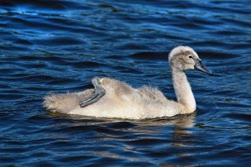 Cygnet, gulbė, vandens paukščių, paukštis, gyvūnas, jauna, jauna paukštis, jauna gulbė, vandens, Plaukimo, kojos, pėdų, purus, pūkas
