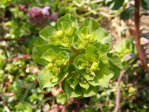 cyparissias,kiparisas,euphorbija,žalias,spurge,geltona,augalai