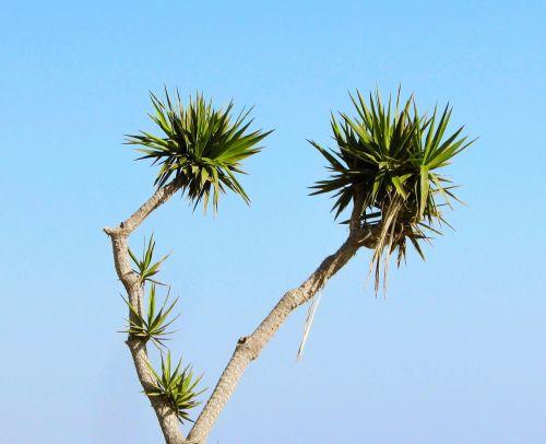 Kipras,ayia napa,kaktusas parkas,kaktusas,medis,augalas