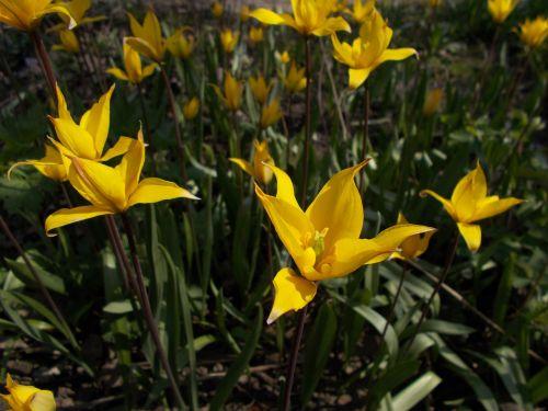 dacha,gėlės,miško tulpė