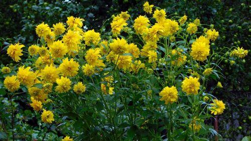 dacha,gėlės,geltona