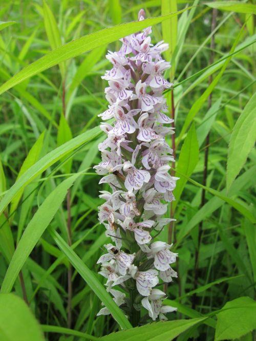 dactylorhiza, pelkės orchidėja, dėmėtoji orchidėja, wildflower, orchidėja, flora, botanika, žiedynas, rūšis