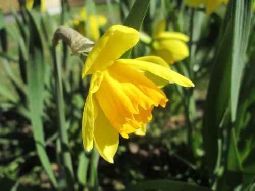 daffodil,geltonas narcizas,Velykų lelijos,sodas,geltona,gėlės,pavasaris,Velykos,pingstliljor,saulėtas,gamta,vasaros pradžia,lapai,gėlė,spalvos,nuolaida,parkas,miestas,Švedija,gražus,gražus narcizas,gražūs narcizai