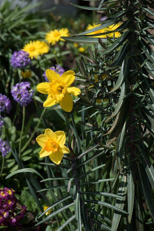 narcizai,Sode,Narcissus pseudonarcissus,geltona,sodas,pavasaris,žiedas,žydėti,osterglocken,gėlės,pavasario gėlės,pavasaris,augalas,gamta,pavasario pranašys,geltonos gėlės,sodo gėlės