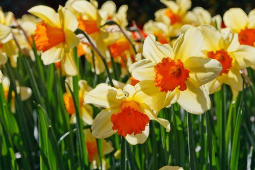 šviesa, žydėti, šviesus, spalvinga, daffodil, narcizai, išsamiai, flora, gėlių, gėlė, švytėjimas, žėrintis, žalias, narcizas, gamta, žiedlapis, žiedlapiai, augalas, pavasaris, geltona, daiklys žėrintis