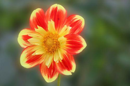 dahlia,žiedas,žydėti,geltona raudona,gėlė,sodo augalas,dahlia sodas,vasaros pabaigoje