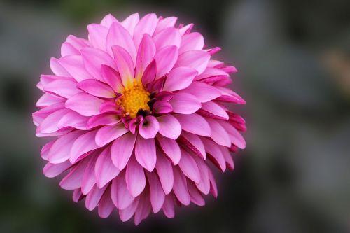dahlia,žiedas,žydėti,gėlė,sodo augalas,dahlia sodas,vasaros pabaigoje