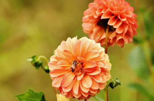 dahlia,dervos,ruduo,asteraceae,gėlių sodas,dekoratyvinė gėlė,dahlia sodas,žiedas,žydėti,sodas,flora,Dalia,augalas