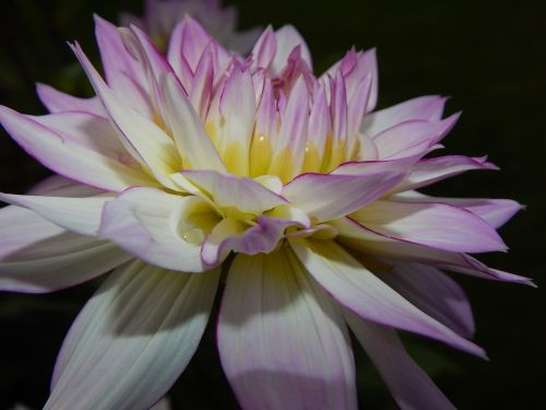 dahlia,rožinė dahlia,žiedas,žydėti,gėlė,vasara,sodas,augalas,gamta,dahlia sodas,Uždaryti