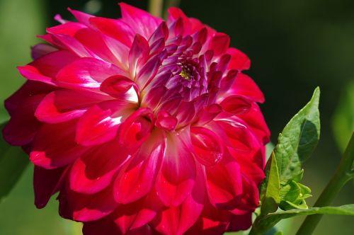 dahlia,rožinis,gėlė,augalas,žiedas,žydėti,gėlių sodas,gamta,dahlia sodas,makro,vasara,sodo augalas,dekoratyvinis augalas,žalias,vasaros pabaigoje,Uždaryti,violetinė,raudona,stiprus,sodas,raudona dahlia,spalva,gražus