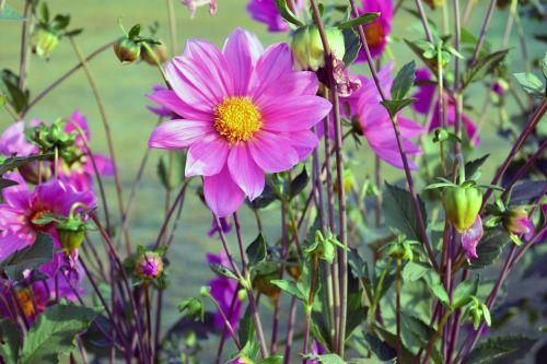 dahlia, gėlė, gamta, žiedlapiai, raudona, lapai, žalias, sodas, dahlia 17