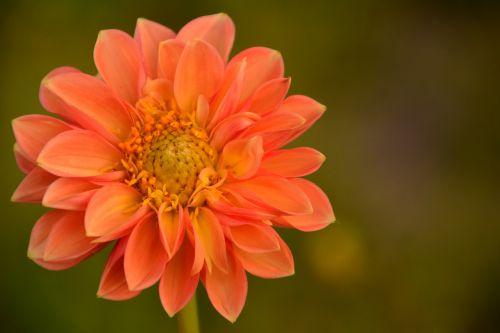 dahlia,budas,gėlė,žiedas,žydėti,dahlia sodas,oranžinė,kompozitai,dekoratyvinė gėlė,dekoratyvinis augalas,gamta,vasaros pabaigoje,oranžinė dahlia,vasara,gėlių sodas,augalas