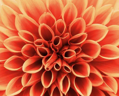 dahlia,ruduo,asteraceae,gėlių sodas,dekoratyvinė gėlė,dahlia sodas,žiedas,žydėti,sodas,flora,Dalia,augalas