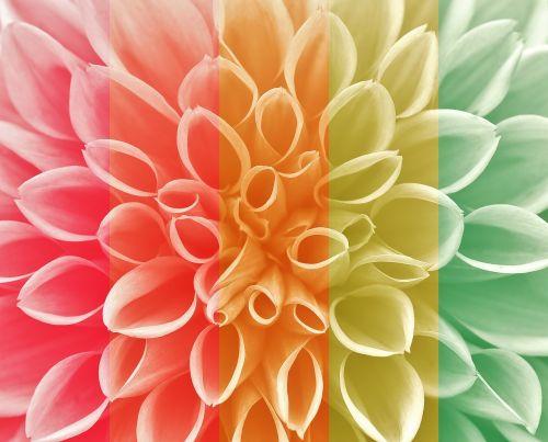 dervos,ruduo,asteraceae,gėlių sodas,dekoratyvinė gėlė,dahlia sodas,dahlia,žiedas,žydėti,sodas,flora,Dalia,augalas