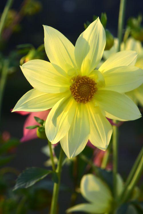 dahlia, gėlė, gamta, žiedlapiai, geltona, lapai, žalias, sodas, dahlia 18
