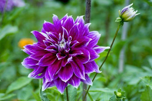 dahlia,violetinė,rožinis,ruduo,rudens delfinai,dahlia sodas,žiedas,žydėti,gėlė,kompozitai