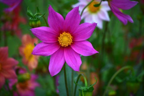 dahlia, gėlė, gamta, žiedlapiai, raudona, lapai, žalias, sodas, dahlia 19
