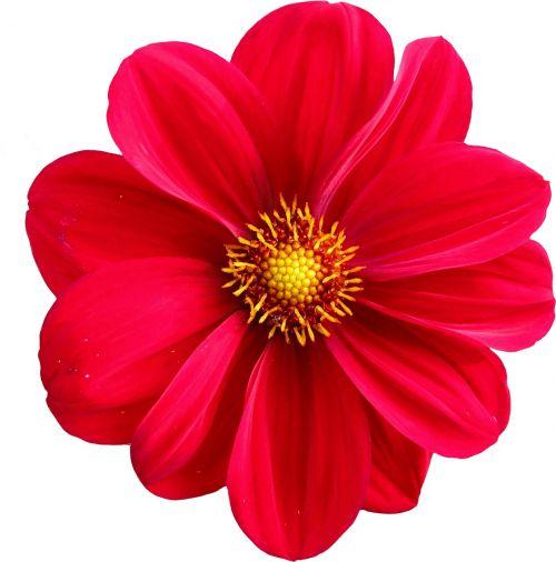 Dahlia, Žiedas, Žydėti, Gėlė, Gamta, Augalas, Ruduo, Gražus, Grafinė Flora, Gėlių Ruduo, Flora, Dahlia Dahlia, Grafika, Izoliuotas
