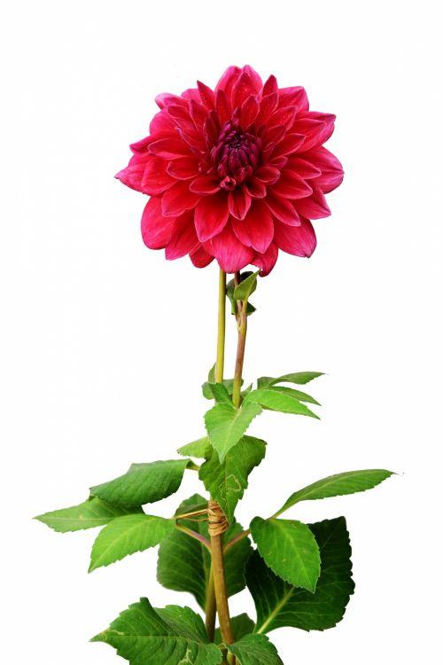dahlia, gėlė, gamta, žiedlapiai, raudona, lapai, žalias, sodas, dahlia 2