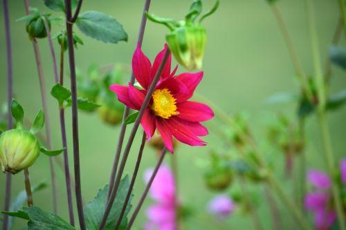 dahlia, gėlė, gamta, žiedlapiai, raudona, lapai, žalias, sodas, dahlia 20