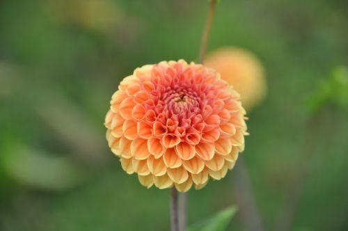 dahlia,sodas,dahlia sodas,gėlė,vasaros pabaigoje,žiedas,žydėti,Uždaryti,geltona,oranžinė,pompon dahlia