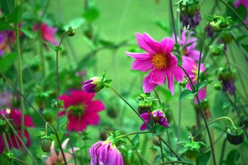 dahlia, gėlė, gamta, žiedlapiai, raudona, lapai, žalias, sodas, dahlia 21