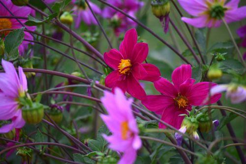 dahlia, gėlė, gamta, žiedlapiai, raudona, lapai, žalias, sodas, dahlia 22