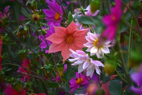 dahlia, gėlė, gamta, žiedlapiai, raudona, oranžinė, balta, lapai, žalias, sodas, dahlia 23
