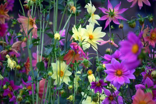 dahlia, gėlė, gamta, žiedlapiai, raudona, lapai, žalias, sodas, dahlia 25