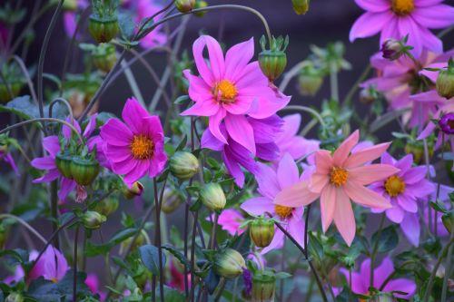 dahlia, gėlė, gamta, žiedlapiai, raudona, lapai, žalias, sodas, dahlia 26