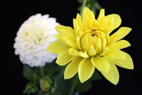dahlia,geltona,gėlė,dahlia sodas,žiedas,žydėti,vasaros pabaigoje,augalas,gamta,ruduo,sodas,kompozitai,Uždaryti,vasara,geltona dahlia,sodo augalas,mandala gėlė,užpildytas dahlia,flora,juodas fonas