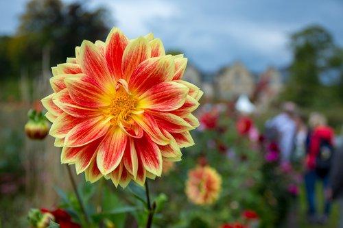 Dahlia, geltona raudona, žiedas, žydi, raudona, geltona, spalva, gėlė, Dahlia sodas, raudonas geltonas, Ugninė, šviesus, gėlė žiedas, splendor Dahlia