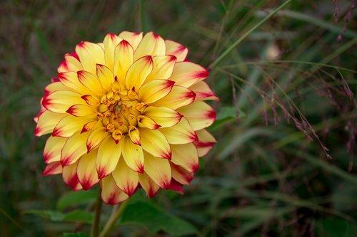 Dahlia, geltona, Iš arti, gėlių sodas, pobūdį, įmonių Georginia, vasara, Dahlia Flower, Dahlia sodas, Sodas, floros, papuošalai Dahlia, kompozitai, sodo augalų, raudonas