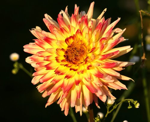 Dahlia, žiedas, žydi, Dahlia sodas, gėlė, floros, gamta