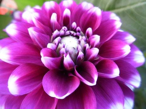 Dahlia, gėlė, žiedas, žydi, rožinis, pobūdį, Dahlia sodas, Grožio, vasara, Iš arti