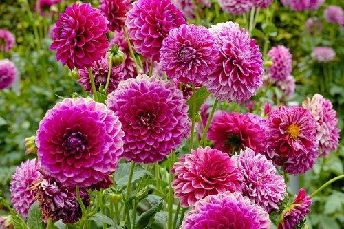 Dahlia, gėlė, Dahlia sodas, rožinis, žydi, Grožio, vasaros pabaigoje