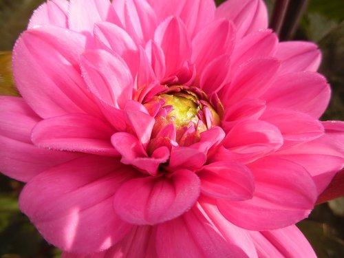 Dahlia, gėlė, žiedas, žydi, rožinis, Sodas, augalų, žiedlapiai, vasara, Iš arti, Grožio, pobūdį, kompozitai
