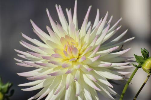dahlia,žiedas,žydėti,dahlia sodas,kompozitai,gamta,sodo augalas,gėlės,balta,geltona