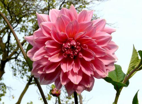 dahlia,augalas,gėlė,dviguba gėlė,kilnus,raudona,rožinis