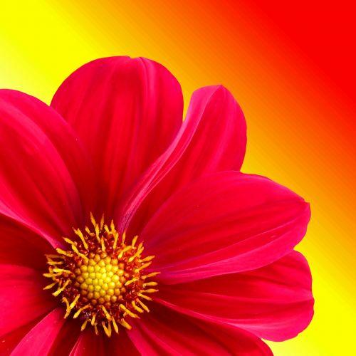 dahlia,gėlė,augalas,dahlia sodas,gamta,žiedas,žydėti,sodas,raudona,įvairios dahlia,grafinė flora,dizainas,ruduo