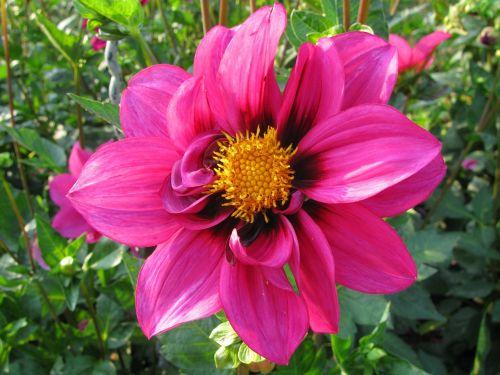 dahlia,rožinis,gėlė,augalas,dahlia sodas,spalva,spalvinga gamta,dažymas,gėlės,gražus