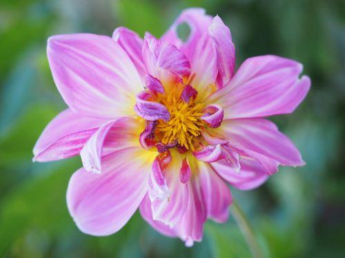 dahlia,žiedas,žydėti,rožinis,gėlė,georgine,kompozitai,asteraceae,dekoratyvinis augalas
