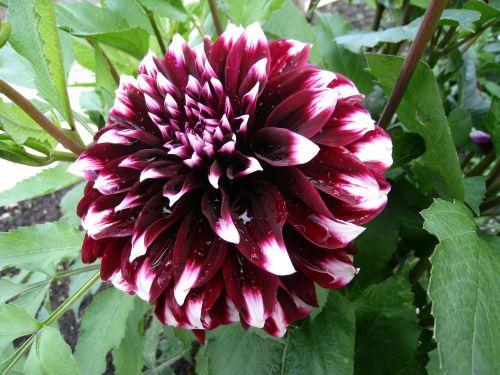 dahlia,du tonas,augalas,gėlė,Burgundija,balta,vasara,sodas,lapai,žalias