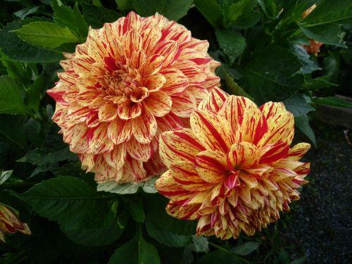 dahlia,gėlės,du tonas,oranžinė,geltona,vasara,sodas,lapai