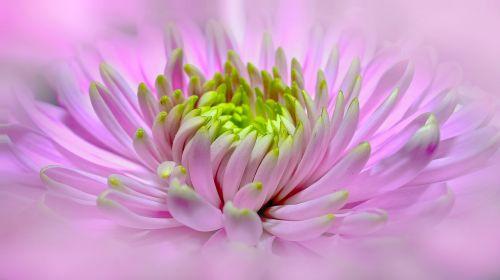 dahlia,rožinis,Uždaryti,pano,žiedas,žydėti,gėlė,paprasta dahlia,augalas,sodo augalas,gėlių sodas,dahlia sodas,kompozitai,vasaros gėlė,dekoratyvinė gėlė,vasaros pabaigoje,pompon dahlia