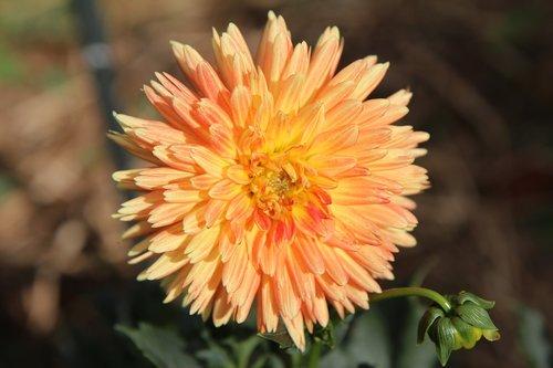 Dahlia Flower, Dahlia-oranžinė, Dahlia, žydėjimas