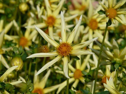 dahlia sodas,dahlia,hortensis,kompozitai,asteraceae