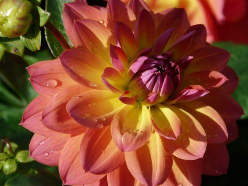 dahlia sodas,rožinis,geltona,violetinė,gėlė,žiedas,žydėti,dahlia,hortensis,kompozitai,asteraceae,dekoratyvinis augalas,paprasta dahlia,lelija dahlia