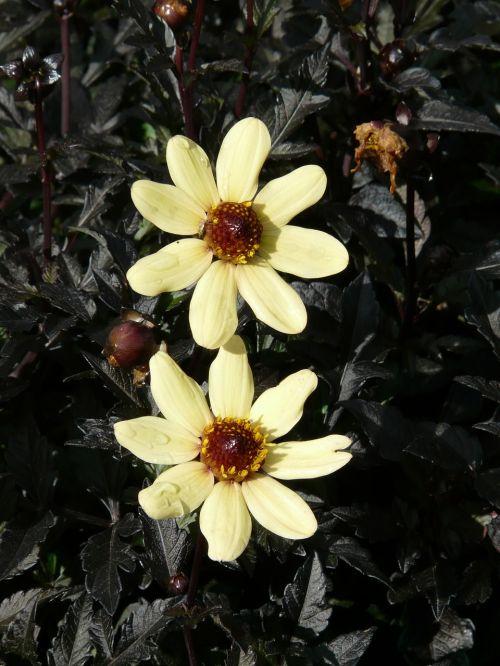 dahlia sodas,ryškiai geltona,citrina,geltona,gėlė,gėlės,atgal šviesa,pumpurai,dahlia,hortensis,kompozitai,asteraceae,paprasta dahlia,lengvas žydėjimas